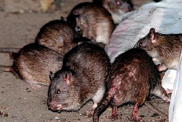 ratas-de-la-peste-negra-equipo-de-redaccion-de-dxt-campeon